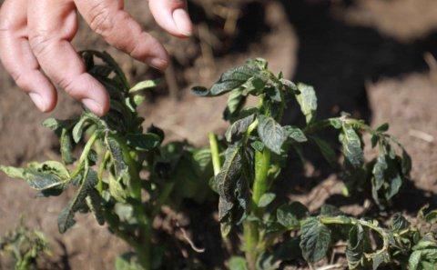 Junín, Perú: Movilizan brigadas agrarias para recuperar cultivos afectados por heladas